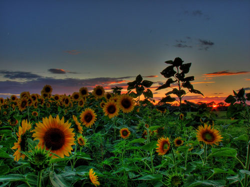 Sunflowers HDR